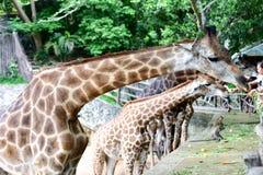 Giraffet äter mat royaltyfria foton