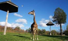 Giraffet Arkivbilder