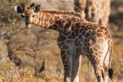 Giraffet behandla som ett barn Arkivfoton