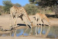 Giraffet - djurliv från Afrika - djura mammor och behandla som ett barn Royaltyfria Foton