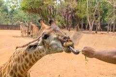Giraffet får mat från folk Arkivfoto