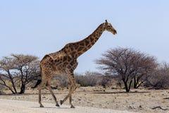 Giraffet i Etosha parkerar Namibia Arkivbilder