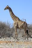 Giraffet i Etosha parkerar Namibia Arkivfoton