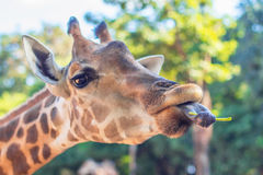 Giraffet i zoo äter bönan Arkivfoton