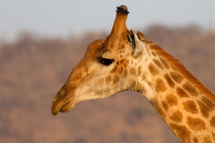 Giraffet Kruger parkerar Arkivfoton