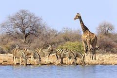 Giraffet och sebror på Etosha parkerar Namibia Royaltyfria Bilder