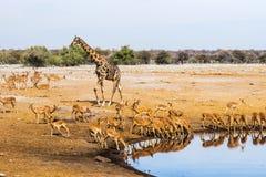 Giraffet och svart vände mot impalaflocken på Chudop waterhole i den Etosha nationalparken Royaltyfri Fotografi