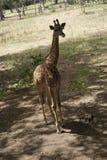 Giraffet på Casela parkerar Arkivbilder