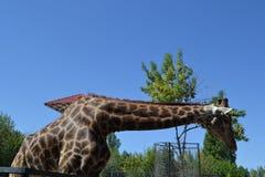 Giraffet på zoo äter gräs i sommar arkivbilder