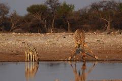giraffet plattar till sebra royaltyfri foto