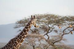 Giraffet ser bort Royaltyfri Bild