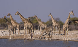 Giraffetrinken stockfotos