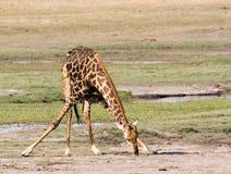 Giraffetrinken Lizenzfreie Stockbilder