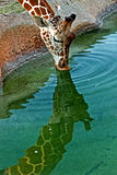Giraffetrinken Stockfoto