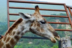 Giraffets huvudberget i bakgrunden royaltyfri illustrationer