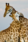 Giraffeumarmung Lizenzfreie Stockfotografie