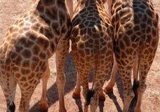 Giraffeunterseiten Stockbilder