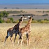 Giraffeweg mit zwei Schätzchen auf der Savanne Stockfoto