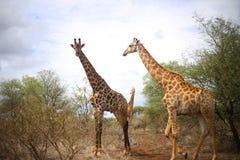 Girafffamilj royaltyfri foto