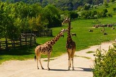 Girafffamilj Arkivbilder