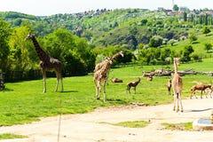 Girafffamilj Royaltyfria Foton