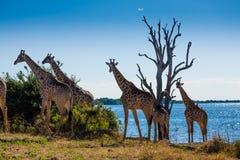 Girafffamilj - Chobe NP - Botswana Arkivfoton