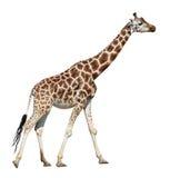 giraffflyttning Arkivbilder