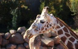 Giraffframsidaskott    en Royaltyfri Bild