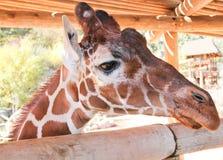 Giraffframsidaskott    två Royaltyfria Foton