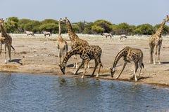 GiraffGiraffa på vattenhålet, Royaltyfri Fotografi
