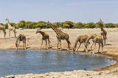 GiraffGiraffa på vattenhålet, Royaltyfria Bilder