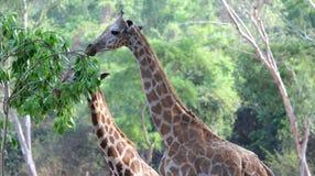 Giraffhals Royaltyfria Bilder
