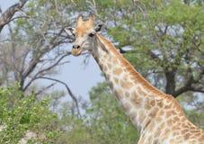 GiraffHeadshot Royaltyfri Bild