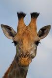 giraffheadshot royaltyfria foton