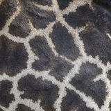 Giraffhud Royaltyfria Bilder