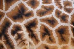 Giraffhud med modellen Arkivbilder