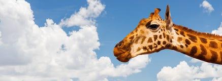 Giraffhuvud över bakgrund för blå himmel och moln Arkivbild