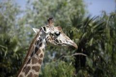 giraffhuvud Arkivfoton