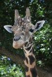 giraffhuvud Royaltyfria Bilder