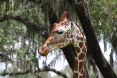 Giraffhuvud Royaltyfria Foton