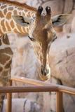 Giraffhuvud i zoo Arkivfoton