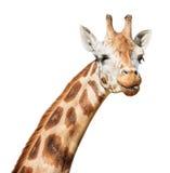 giraffhuvudet dess look ut satte sly blinka för tunga Fotografering för Bildbyråer