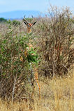 Giraffidae antelope gerenuk Royalty Free Stock Photo