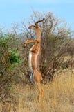 Giraffidaeantilopgerenuk Arkivbilder