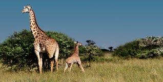 giraffkenya mara masai arkivfoton