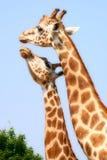 giraffkyss Arkivbilder