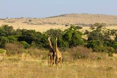 giraffmaasai mara två Royaltyfri Fotografi