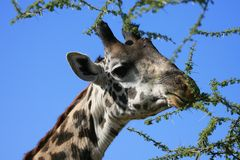 giraffmasai Arkivfoto