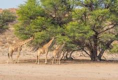 Giraffmatning Arkivbild