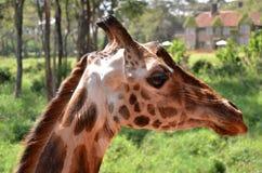 Giraffmitt Nairobi Fotografering för Bildbyråer